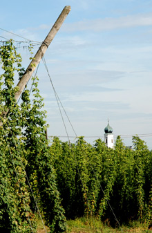 Hops growing in the Hallertau region of Germany