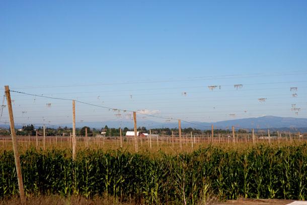Hop fields, Mount Angel, Oregon