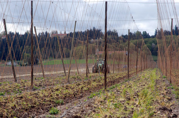 Preparing hop yard for a new season, Mount Angel, Oregon