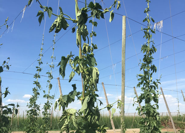 Yakima Valley hops, 3 days without water