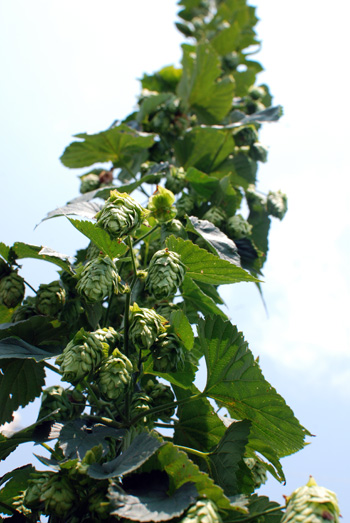 Hops - what variety?
