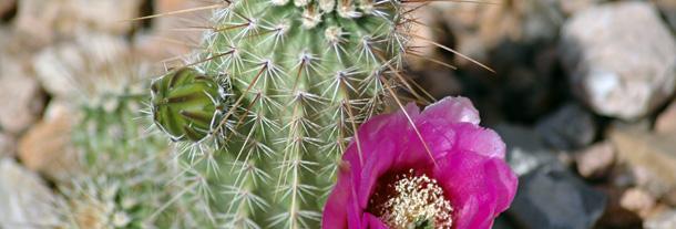 New Mexico cactus